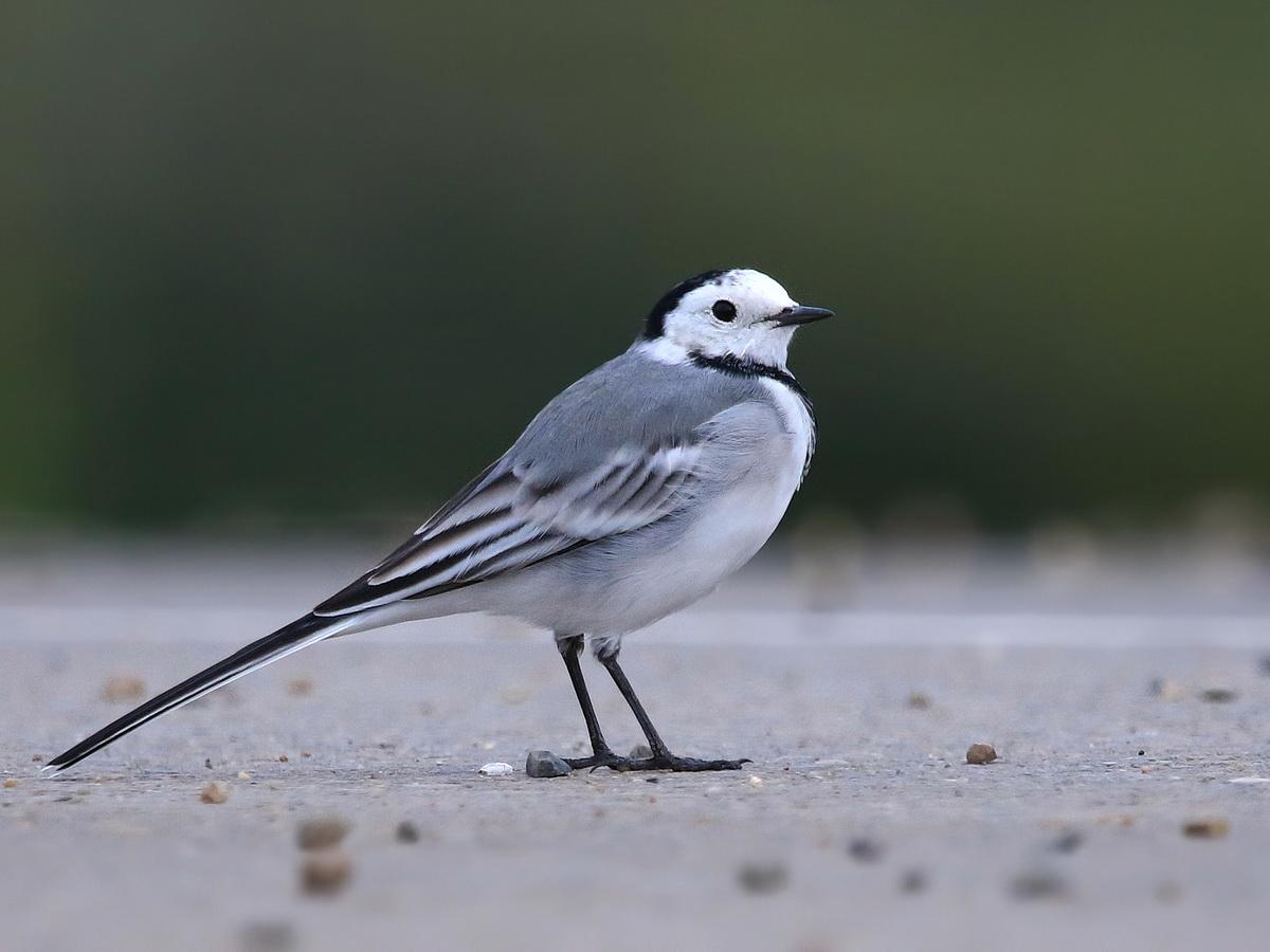 картинки картинка птиц трясогузка этой статье, собраны