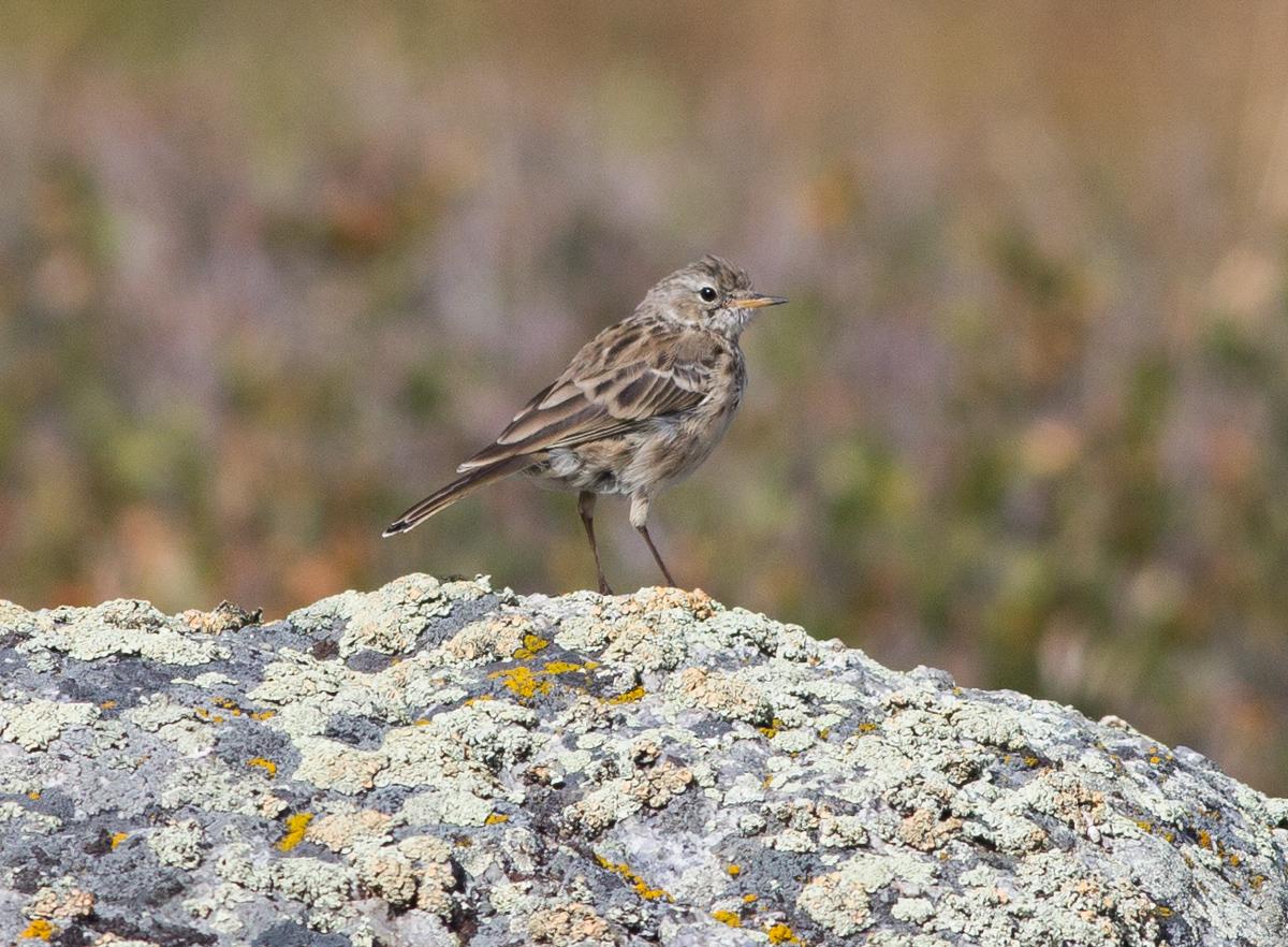 птицы горного алтая фото и названия этим