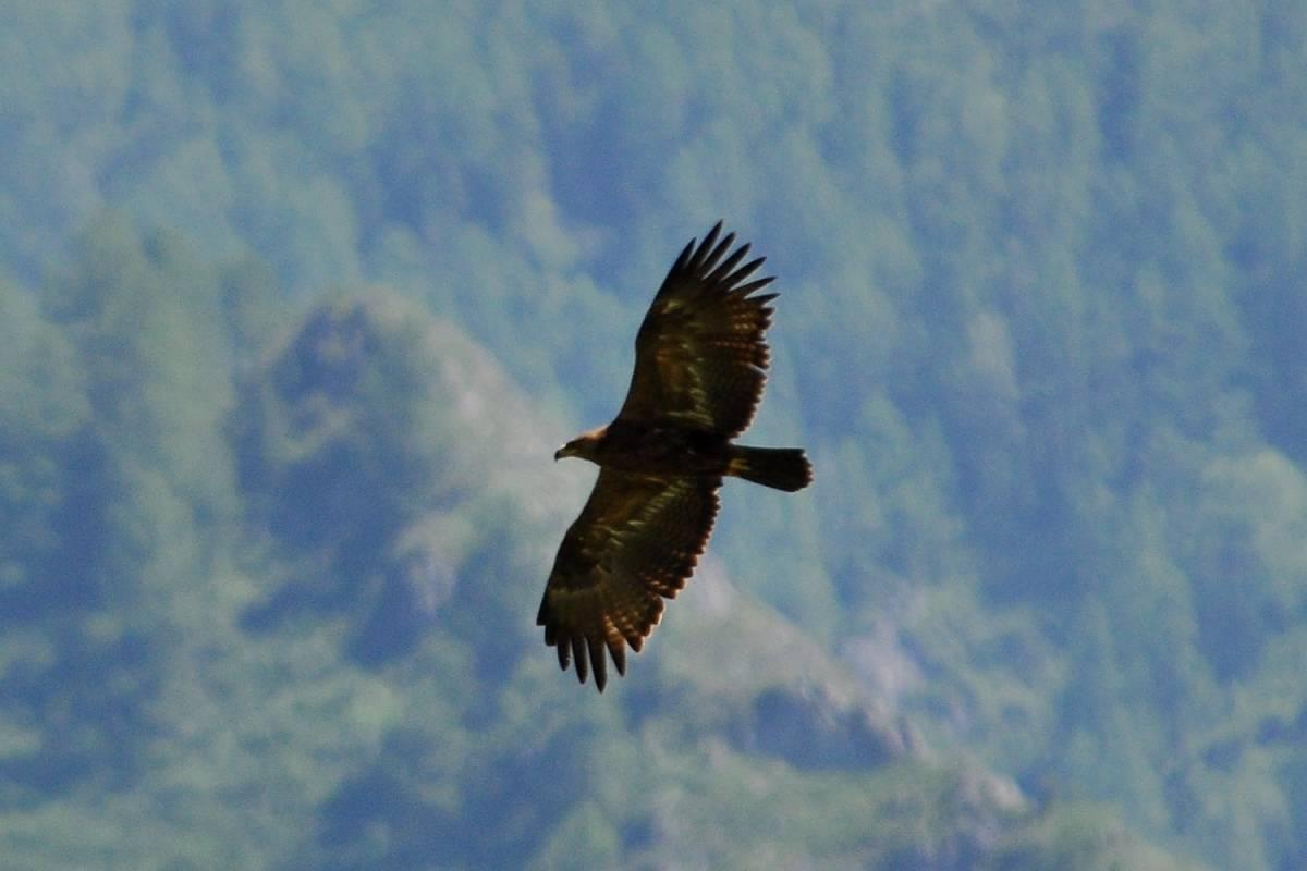 Парит орел над лесом фото