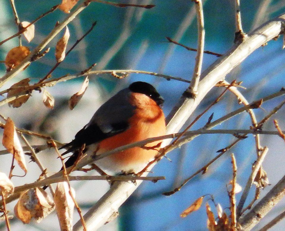 пледа птицы забайкальского края фото и описание компоненты