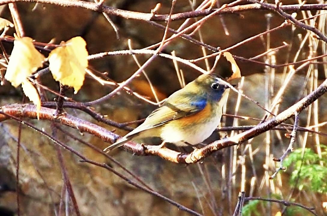 престижных птицы забайкальский край фото вариант для тех