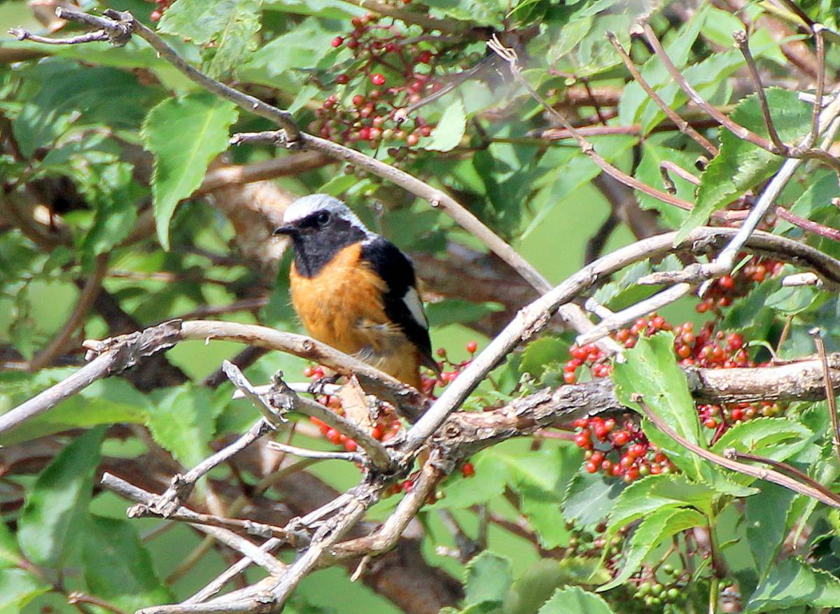 Птицы забайкальского края фото и описание