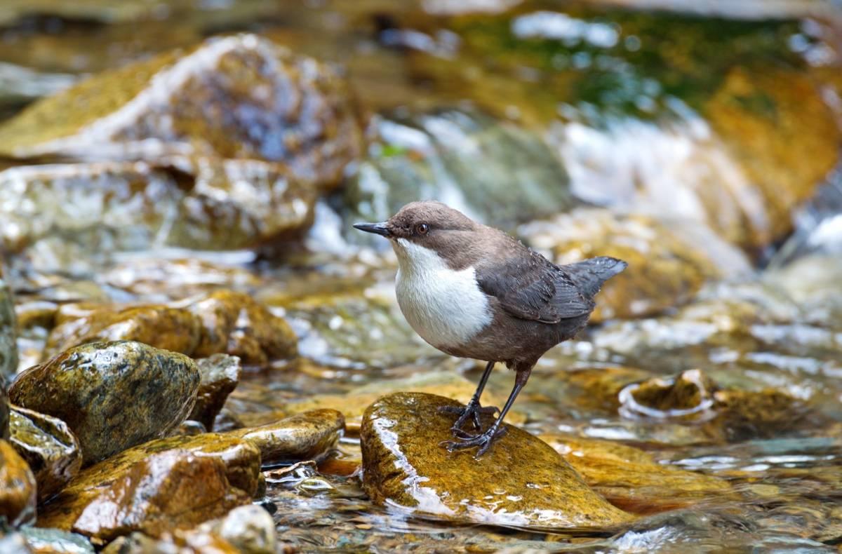 подобный оляпка фото птицы способен обеспечить отличную