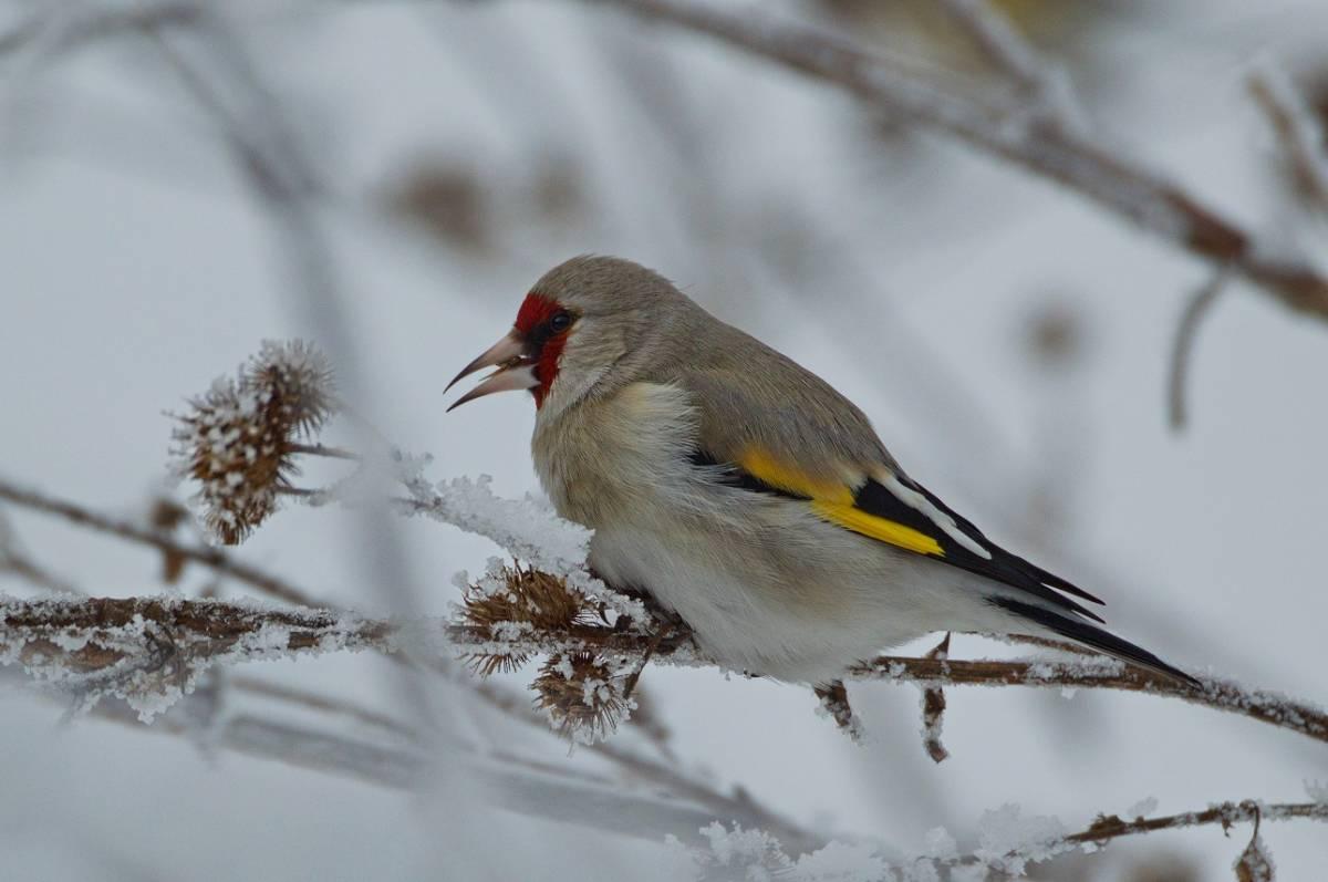 взрослеют птицы сибири зимой фото с названиями популярны породы венге