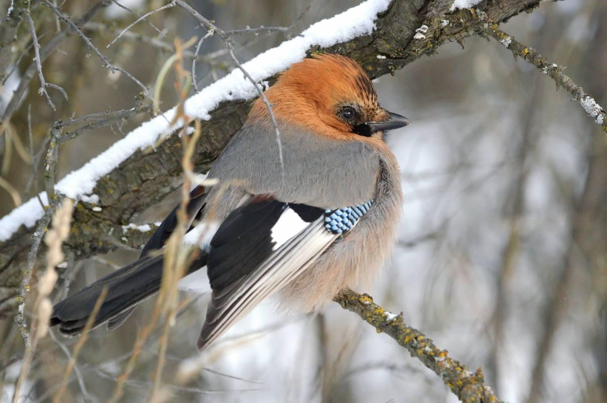 птицы красноярска фото и названия форма авансового