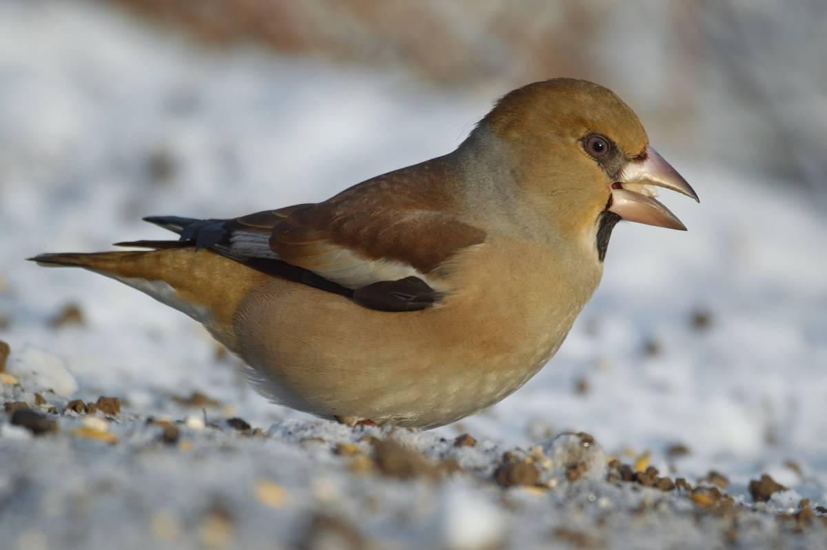 Птицы сибири картинки