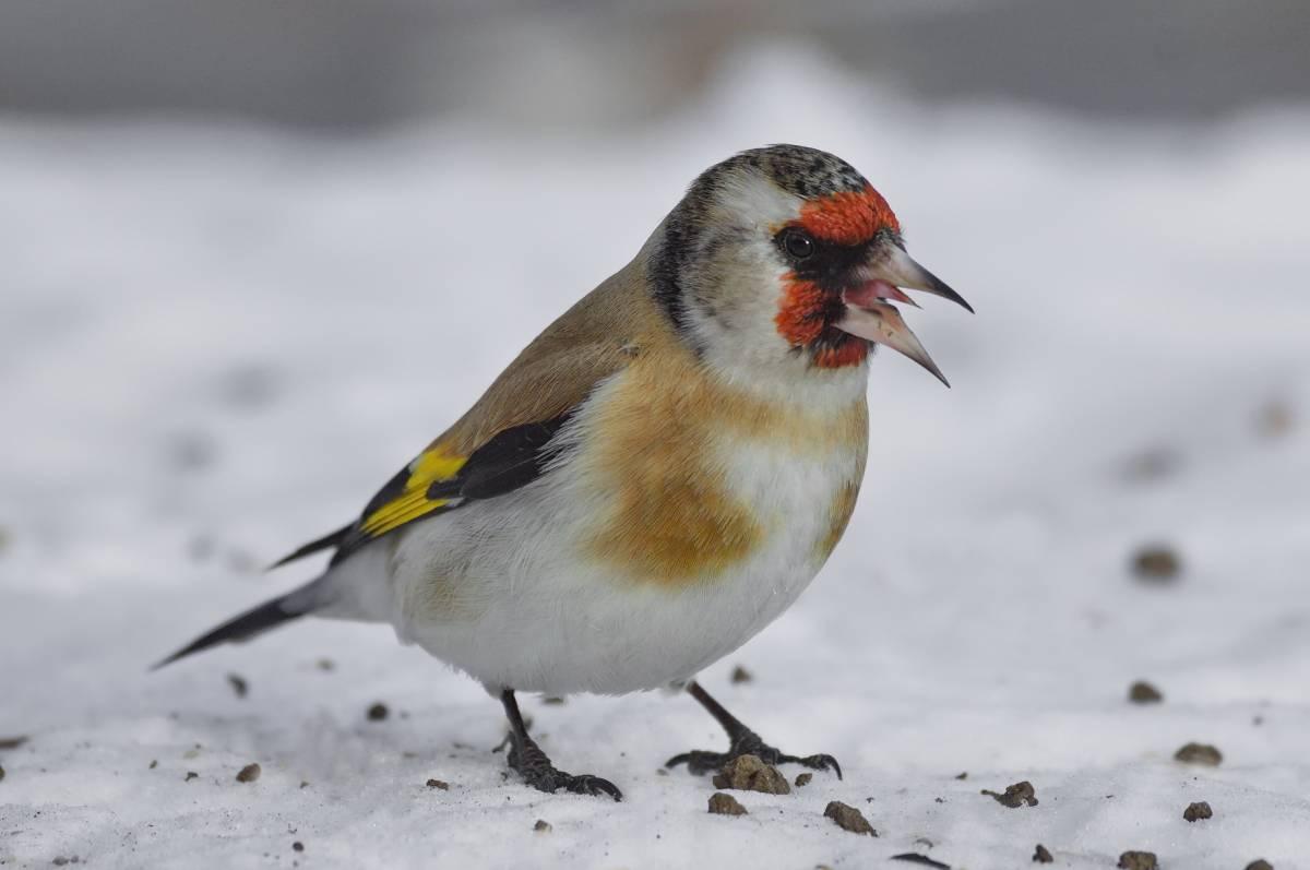 щиглик птица фото зимой утверждают
