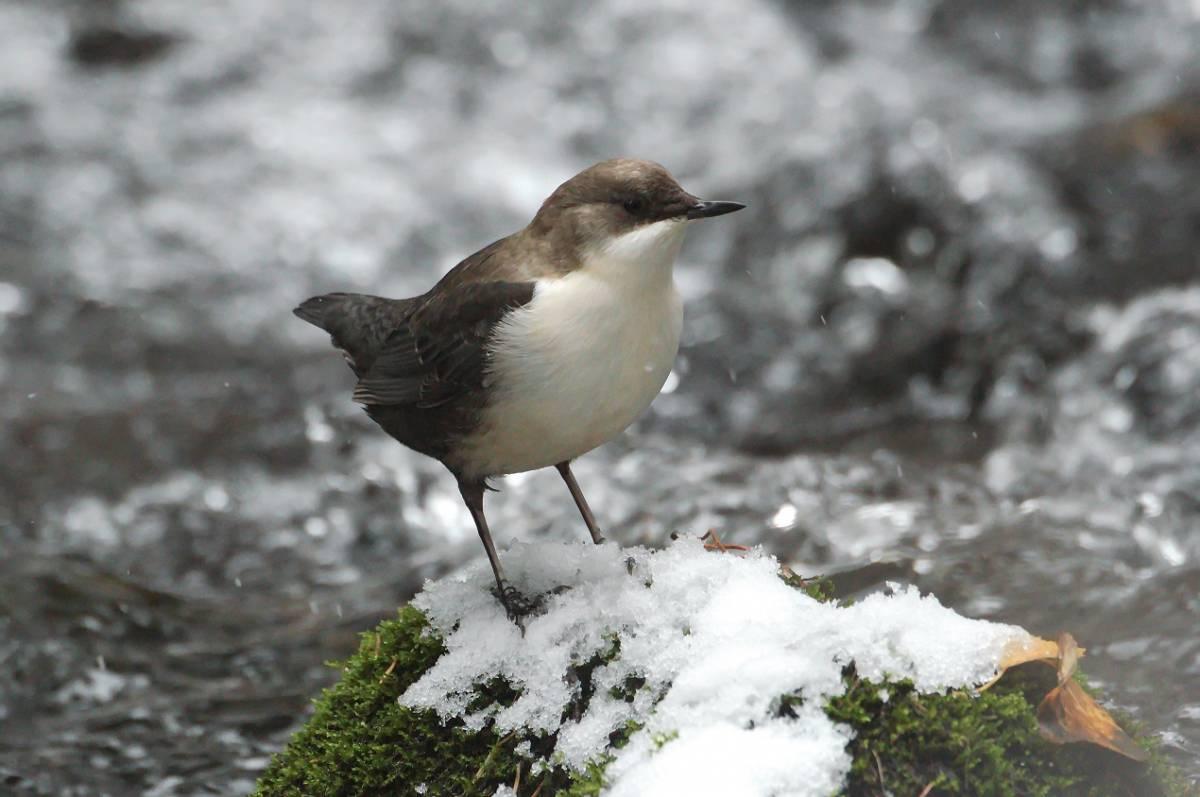 оляпка фото птицы обслуживание