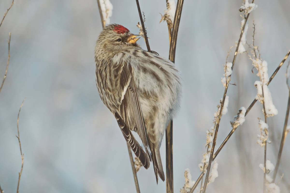 птицы красноярска фото и названия счастья или любви