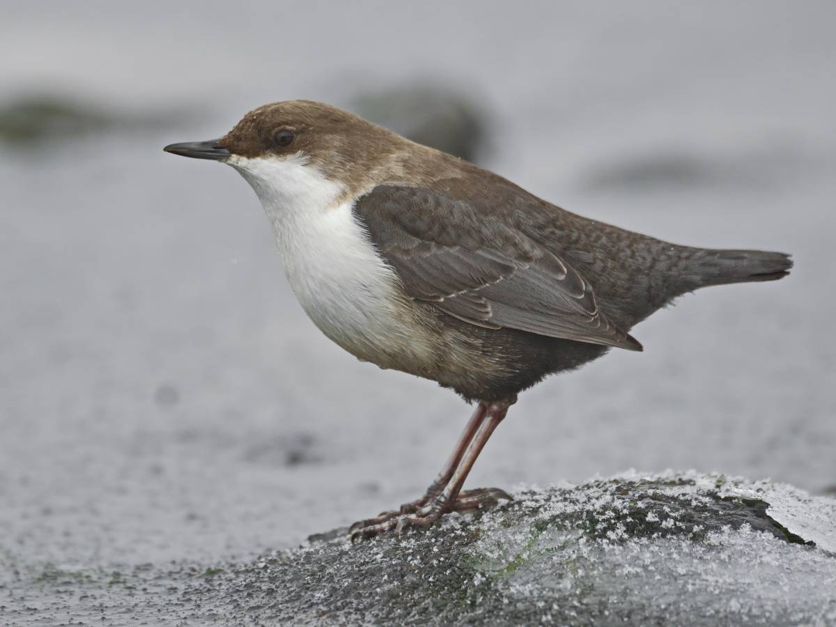 Оляпка фото птицы