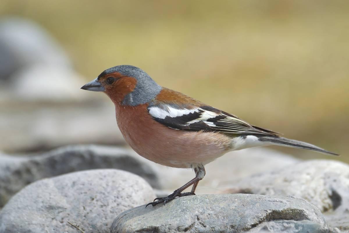 Зяблик фото птицы зимой и летом
