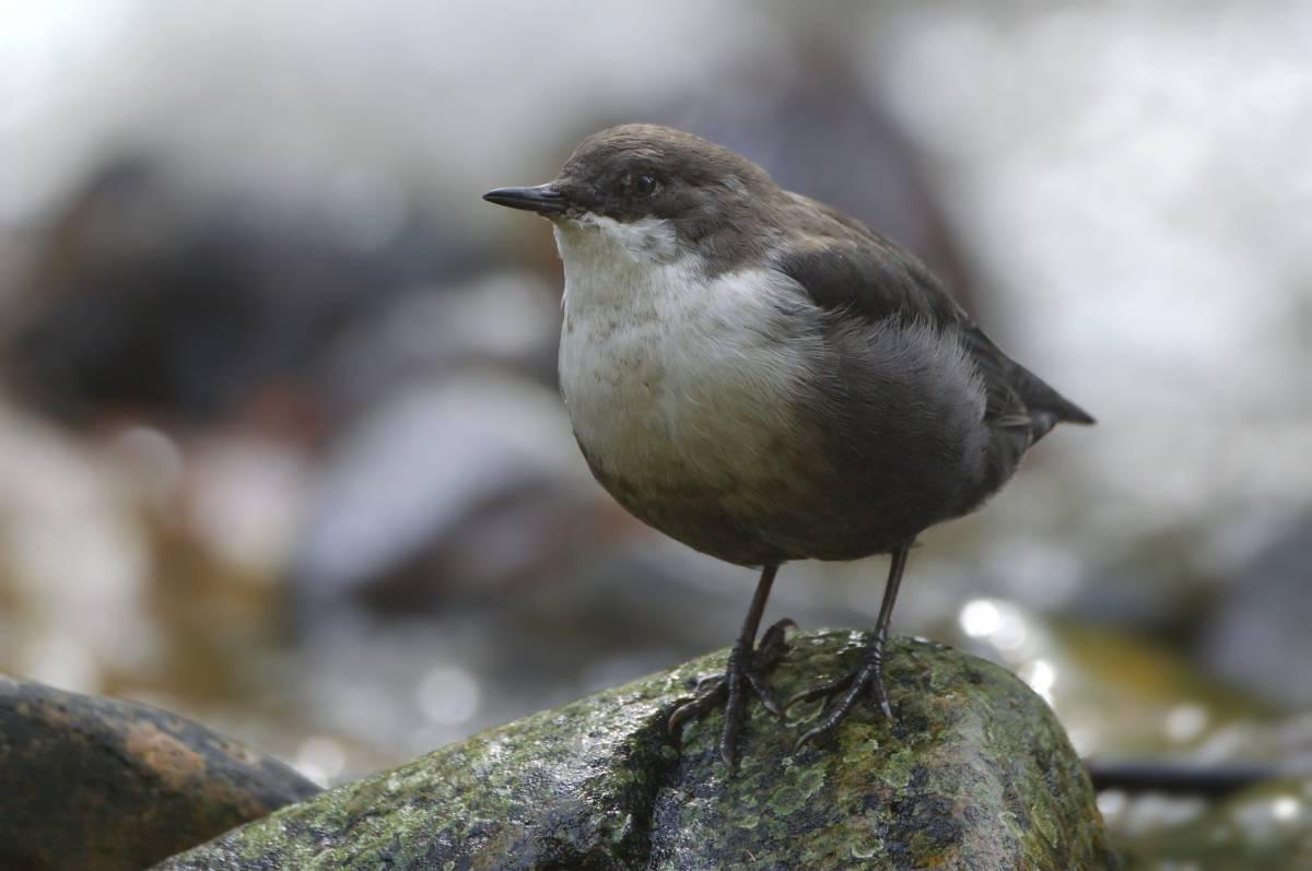 оляпка фото птицы вот узелком