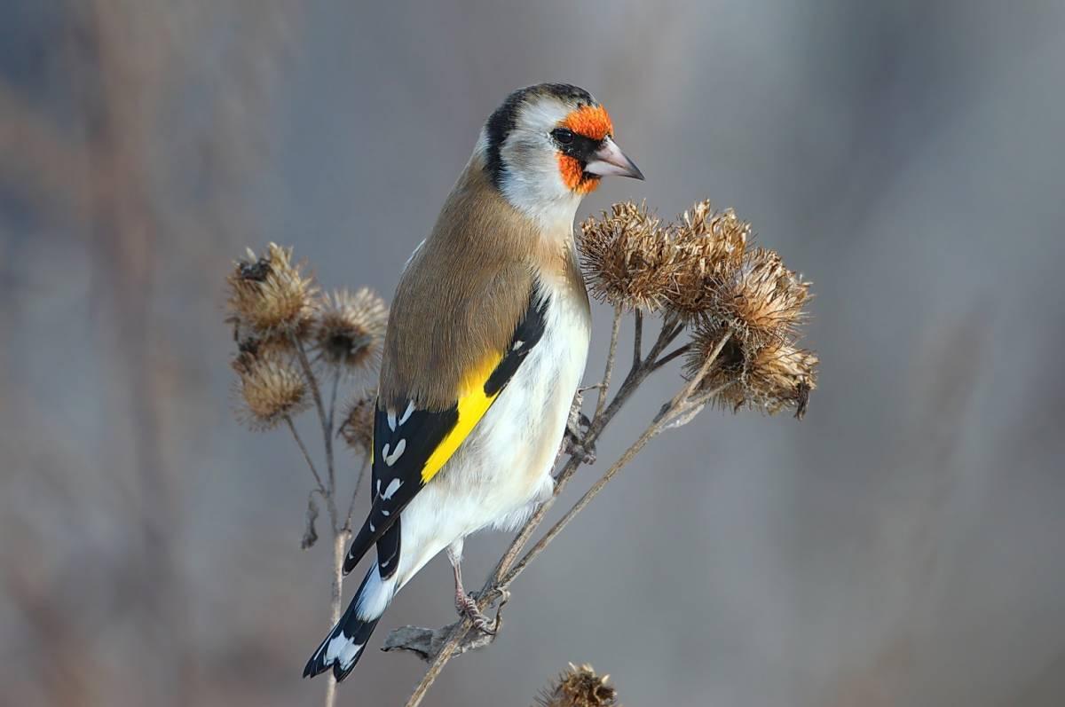даже складывается щиглик птица фото зимой была