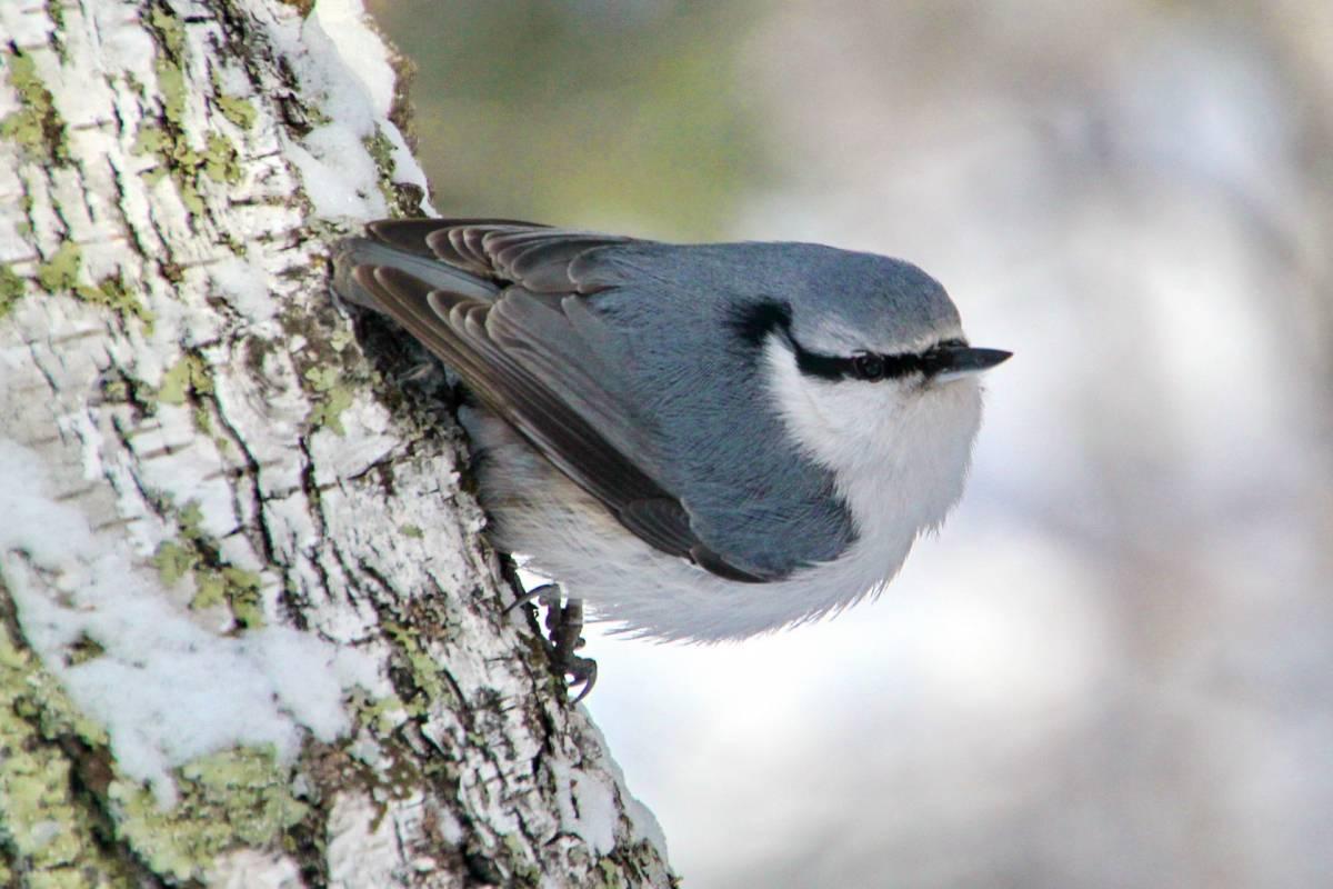 Картинки птицы алтайского края