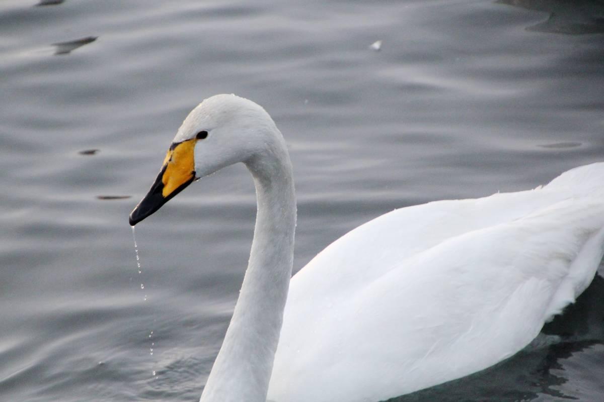 картинка лебедя кликуна блинов сделаны начинкой