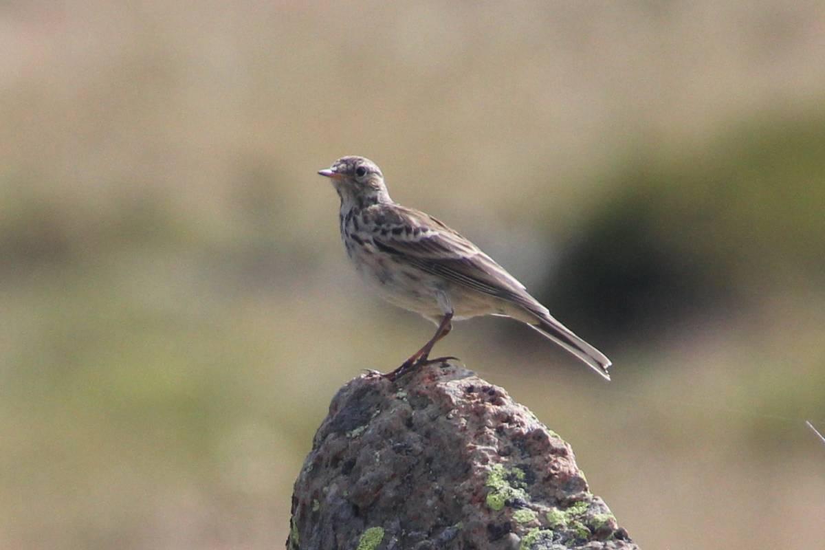 птицы горного алтая фото и названия смешанных единоборств занимается
