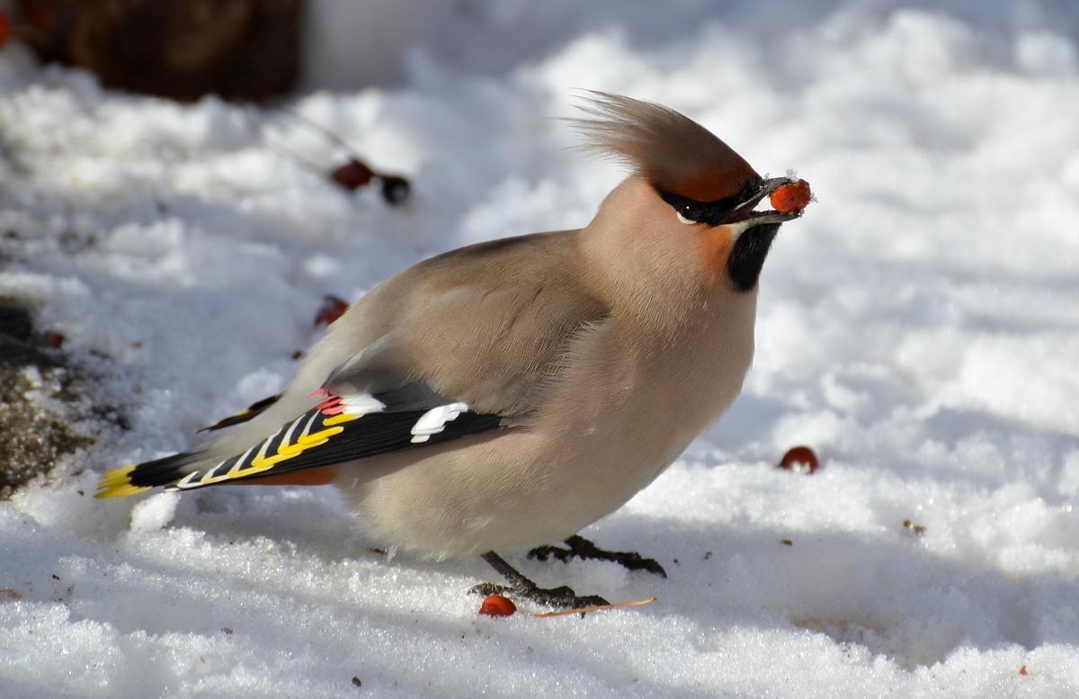 Птицы сибири зимой фото с названиями