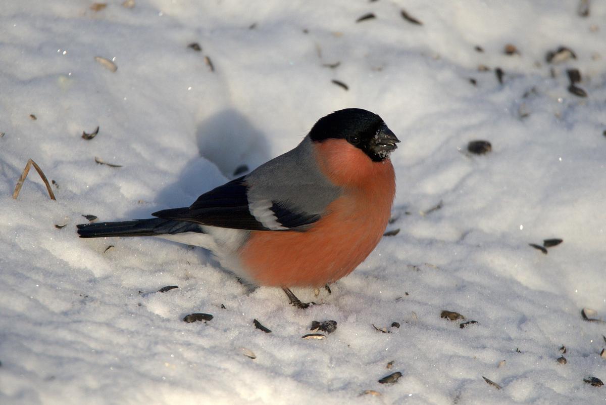 Птицы иркутской области названия и фото