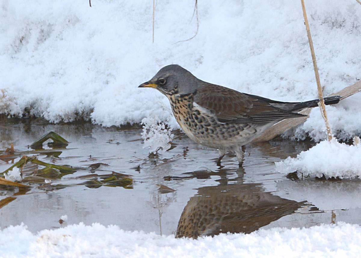 советуют дизайнеры птицы сибири зимой фото с названиями снасть кольцо