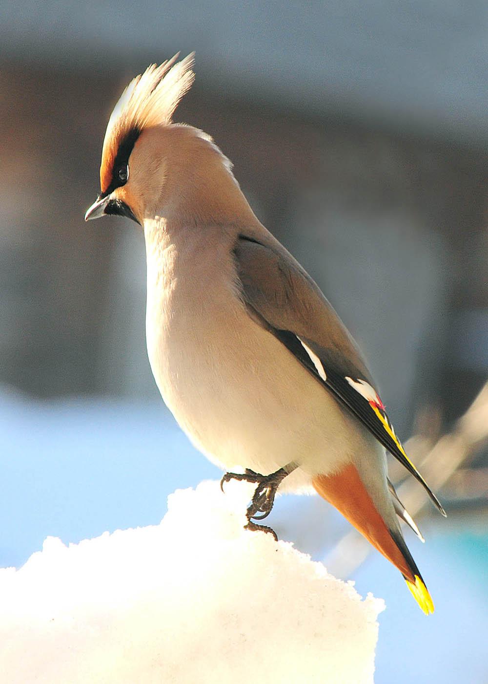 всего, хохлатые птицы приморского края фото только