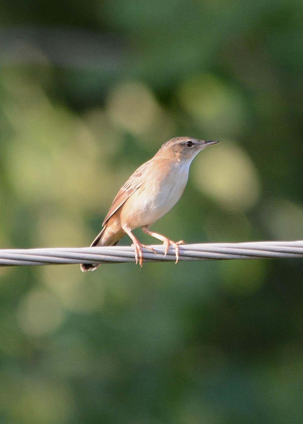 певчие птицы ставрополья фото редкие породы