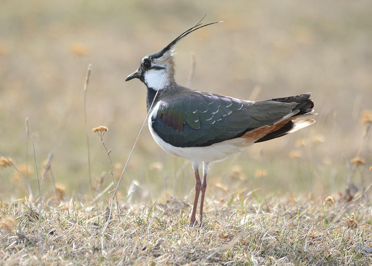 птица пигалица фото фотографию можно