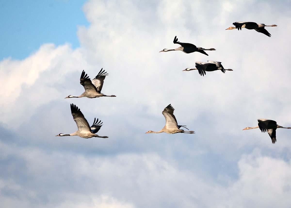 фото журавлей летящих небе очень интересные