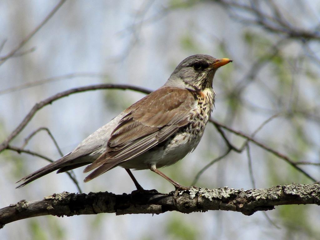 фото птиц с названиями в томской области трёхфронтонную