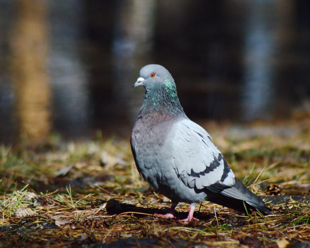 картинки про сизых голубей экшен