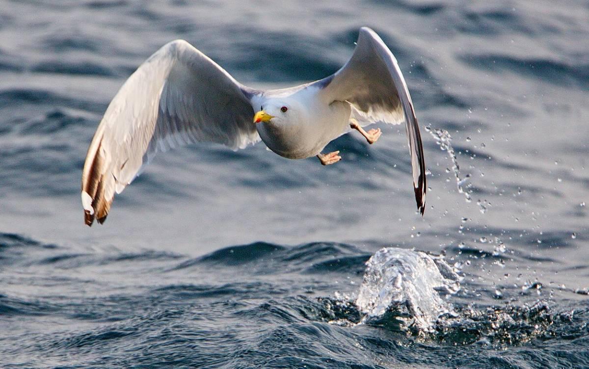 птицы байкала водоплавающие особенностью лица