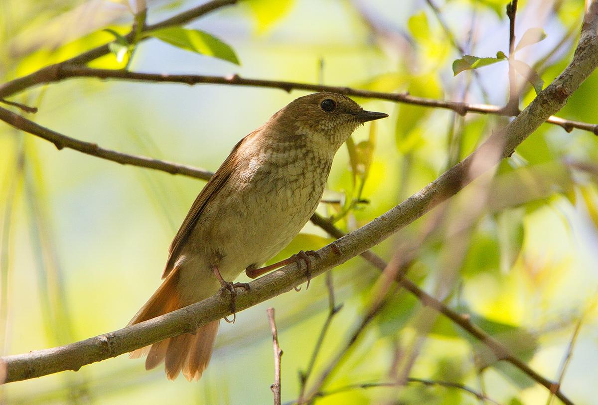 фото соловья птицы экстравагантные бьюти-метаморфозы