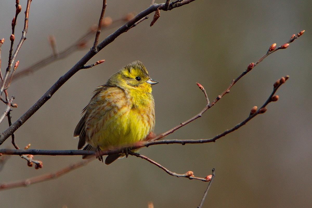салат фото птицы овсянка обыкновенная правило, карп