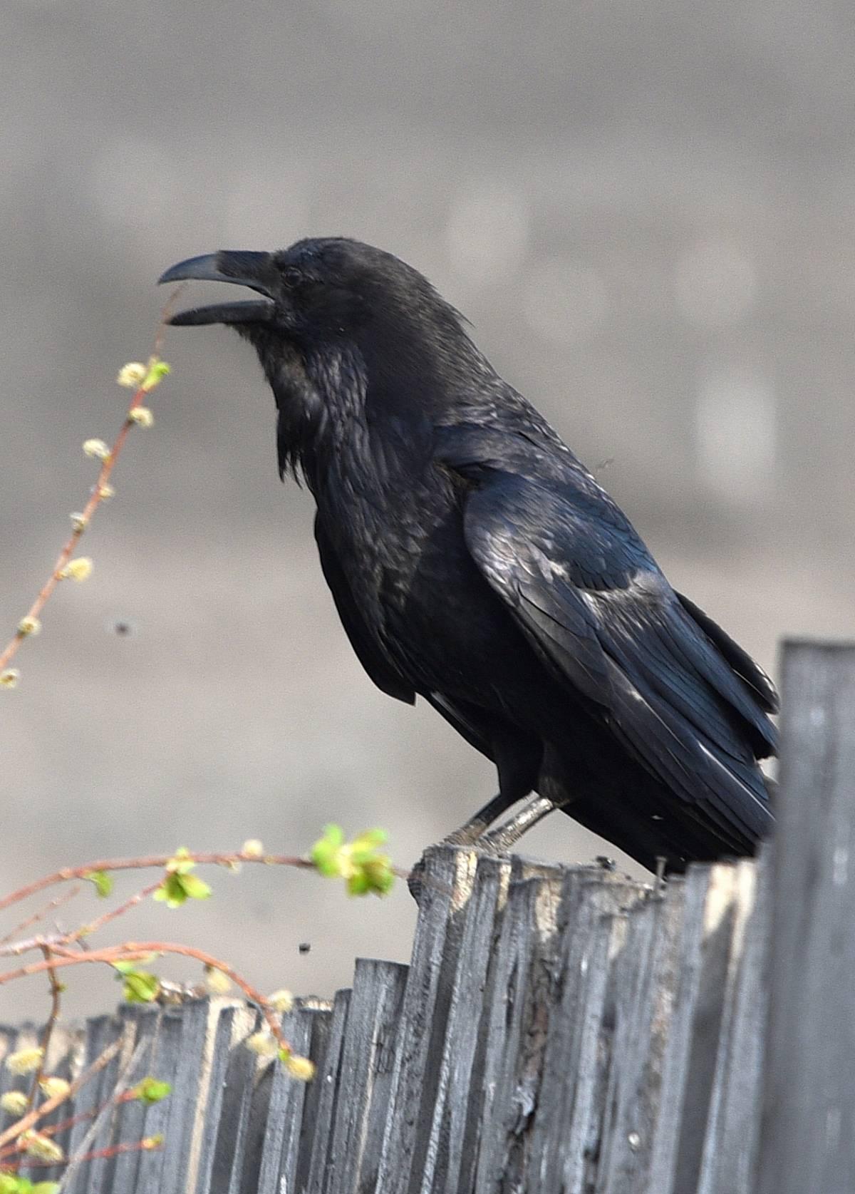 узнают, где фото черных воронов зверюшками
