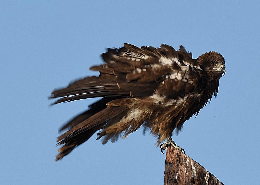 Птенец черного коршуна фото