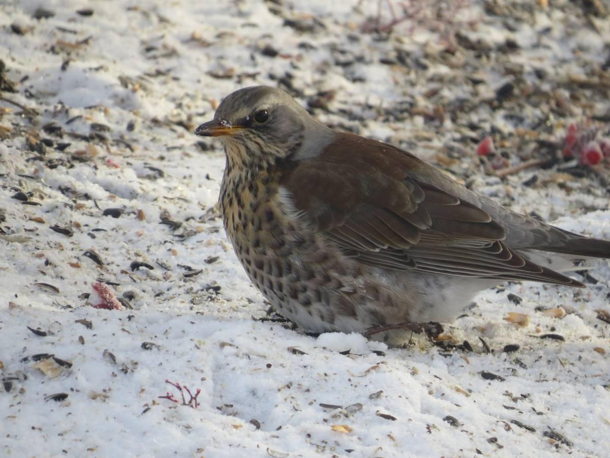 Птицы алтайского края фото с названиями