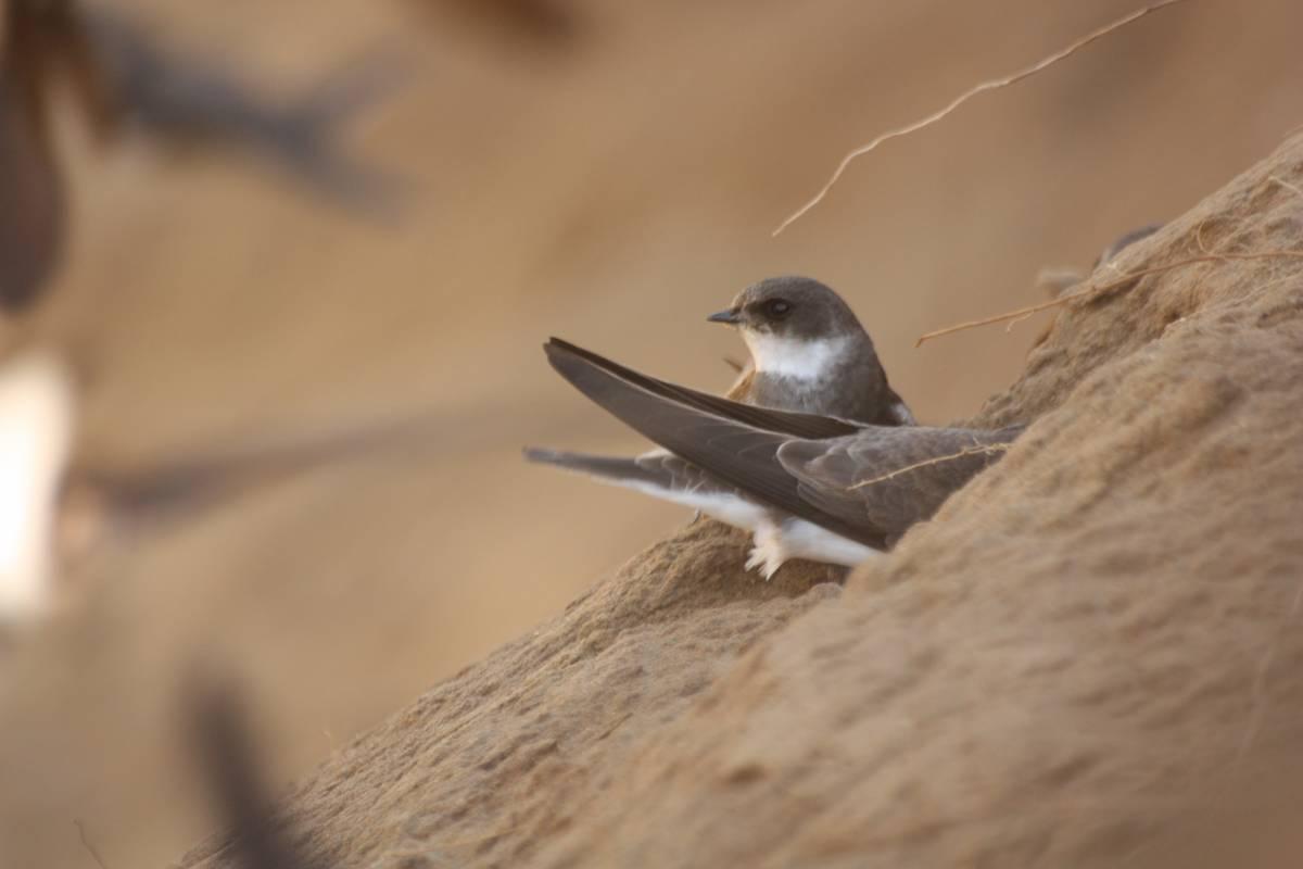 птица ласточка береговушка фото той терьер отлично