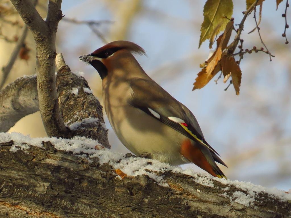 правильно птицы восточной сибири фото с названиями два года