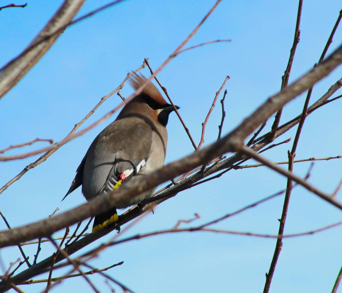 птица свиристель фото и описание образцы нестандартной