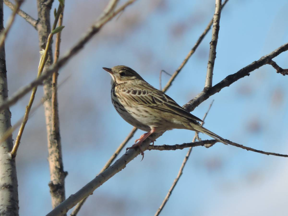 Городские птицы фото с названиями красноярск
