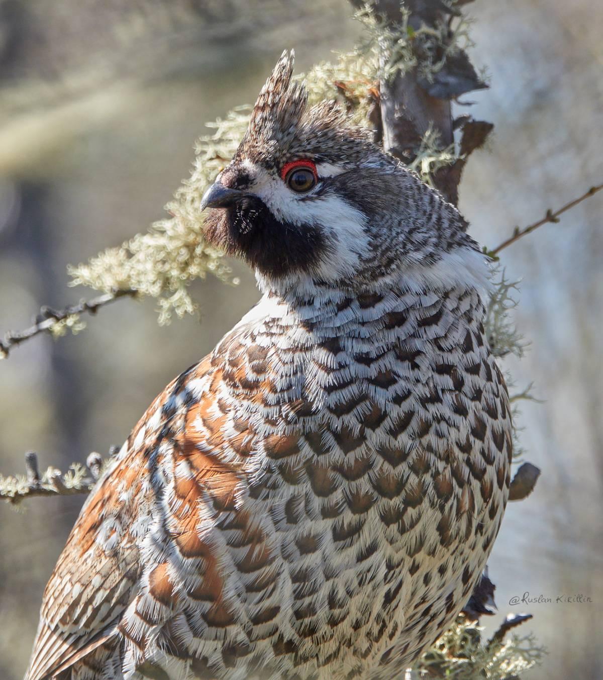 красителя картинки птиц рябчик стоит использовать