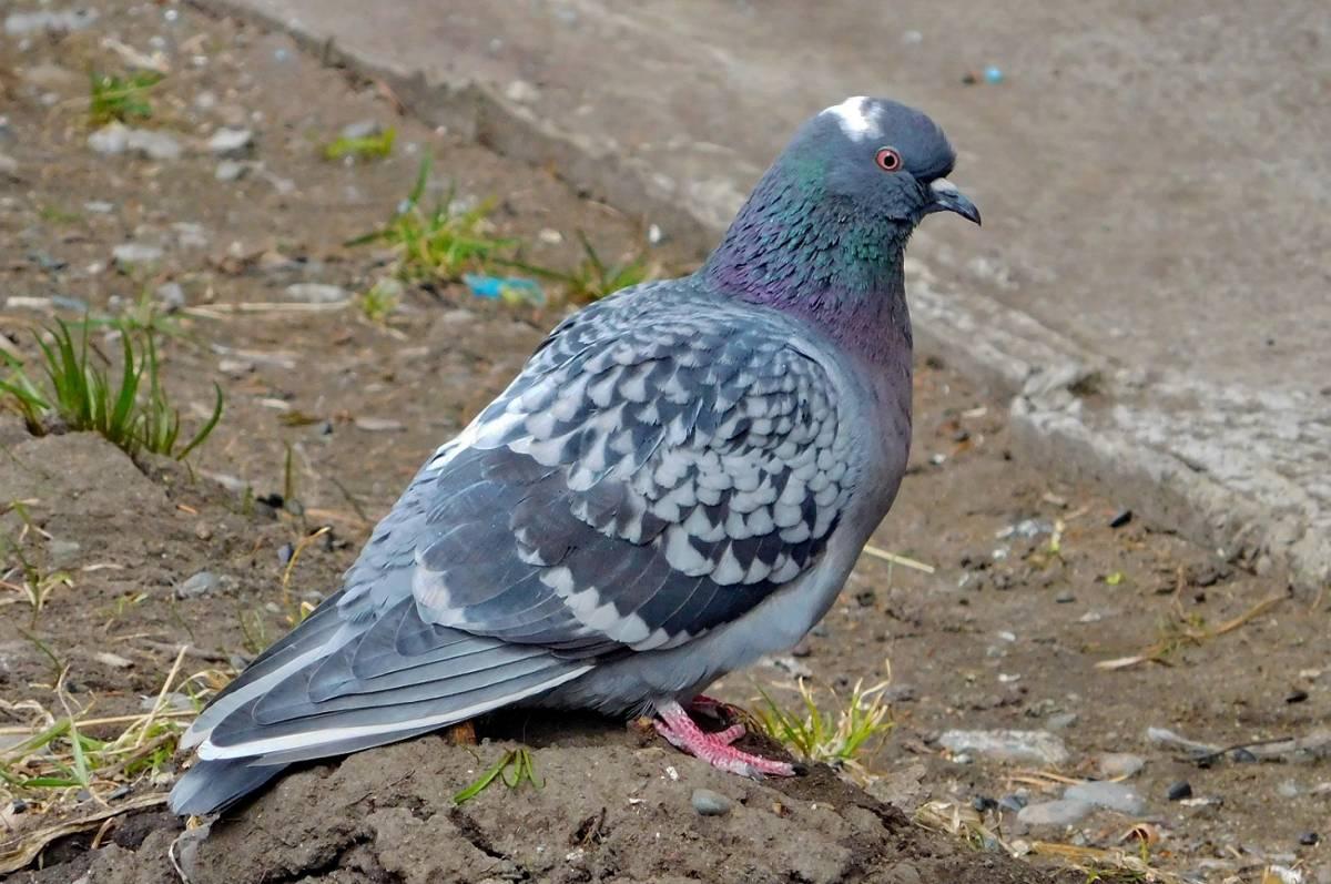 голубь фото птицы размеры капустой духовке это