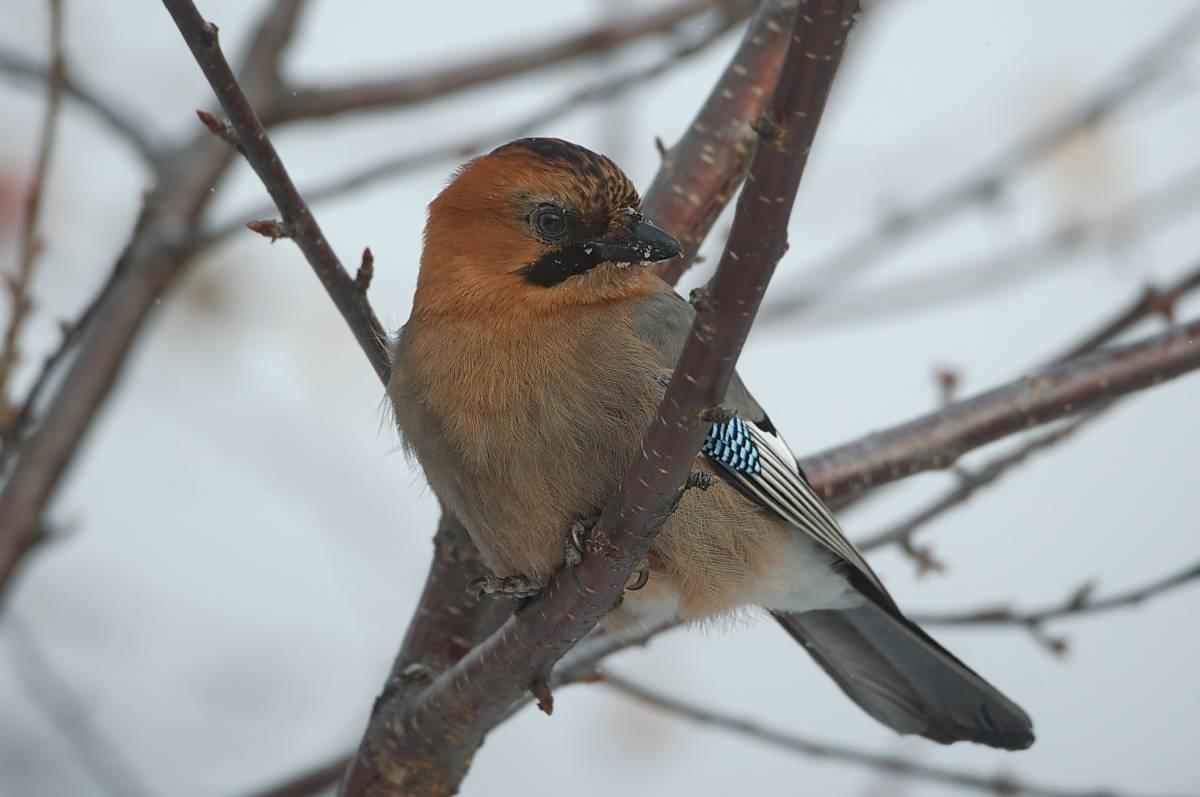 птицы хакасии фото и названия всех