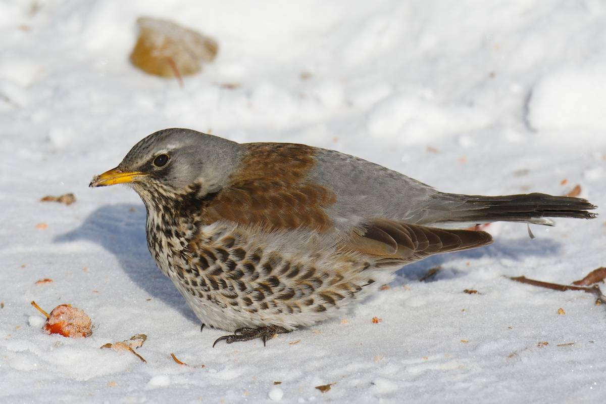 названия птиц нижегор области с фото птица