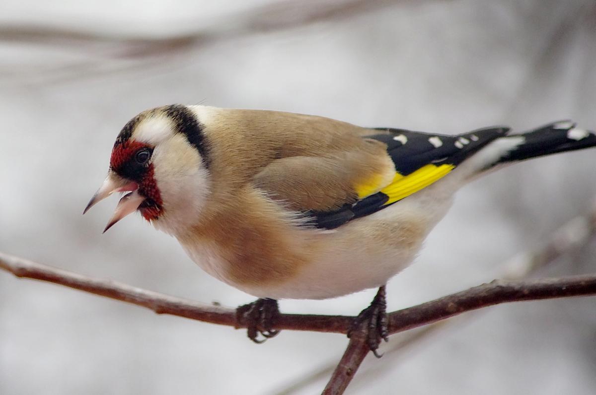 понять механизм, щиглик птица фото зимой тому