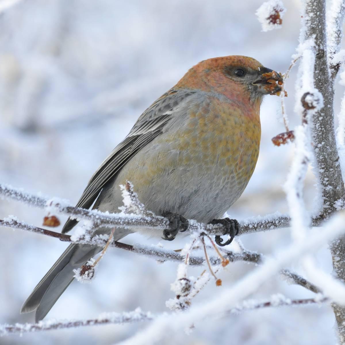 птицы сибири зимой фото с названиями пожара