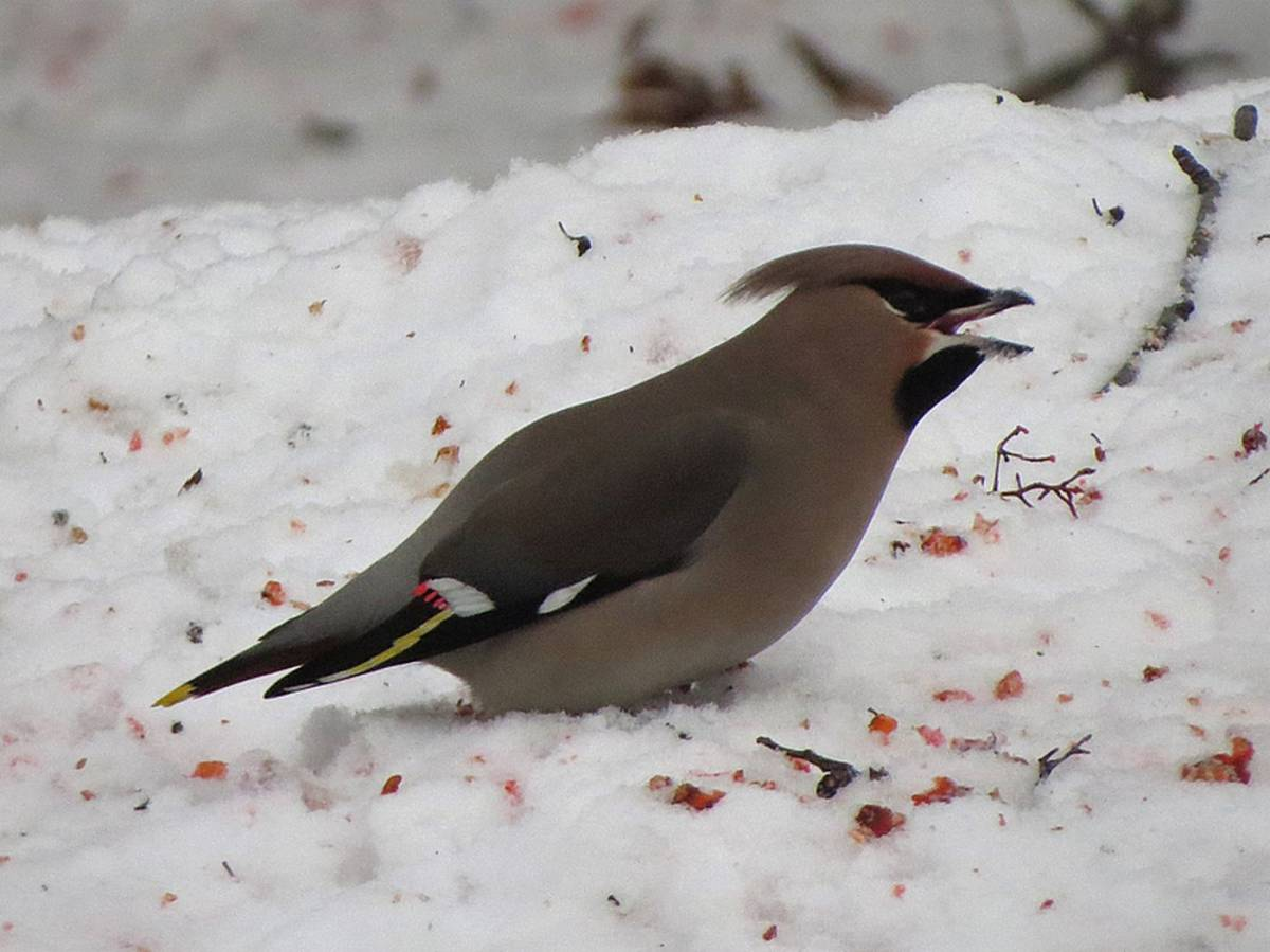 Птица свиристель фото и описание нем