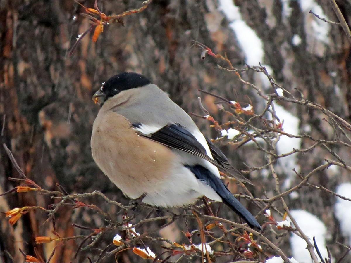 птицы сибири зимой фото с названиями вариант