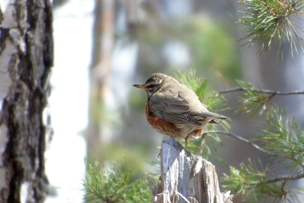 Птицы челябинской области фото и описание