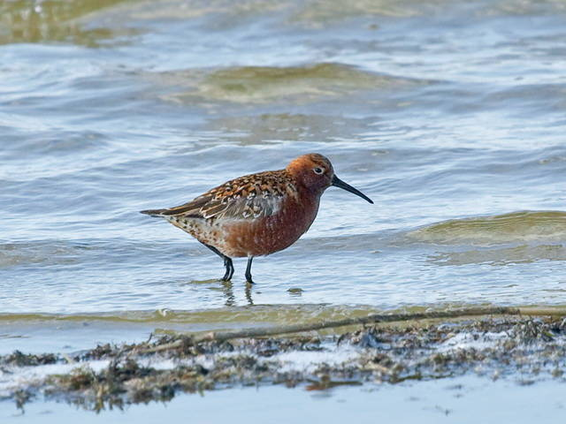 where terek sandpiper migrates and why